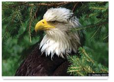 Environmental Image 9 - American Bald Eagle